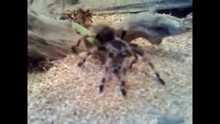 Голодный паук птицеед, кормление.