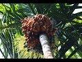 Betel Nut | Areca Nut | Complete Process