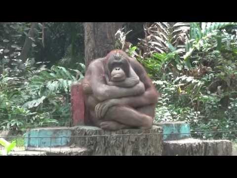 Орангутан-мыслитель в зоопарке Хошимина