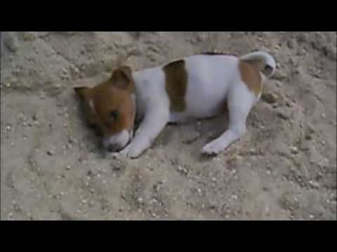 Puppy Jack Russell Terrier play in sand