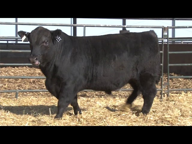 Schiefelbein Angus Farms Lot 131
