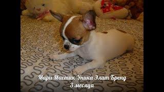 ЧИХУА НОСИК КУРНОСИК - НИКА ( МАРИ МИСТИК ) ПРОДАЖА ЩЕНКОВ