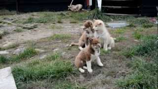 These are the baby dogs left to roam around towns like Qannaq. At a...