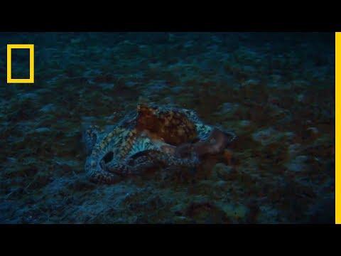 L'attaque de la squille multicolore