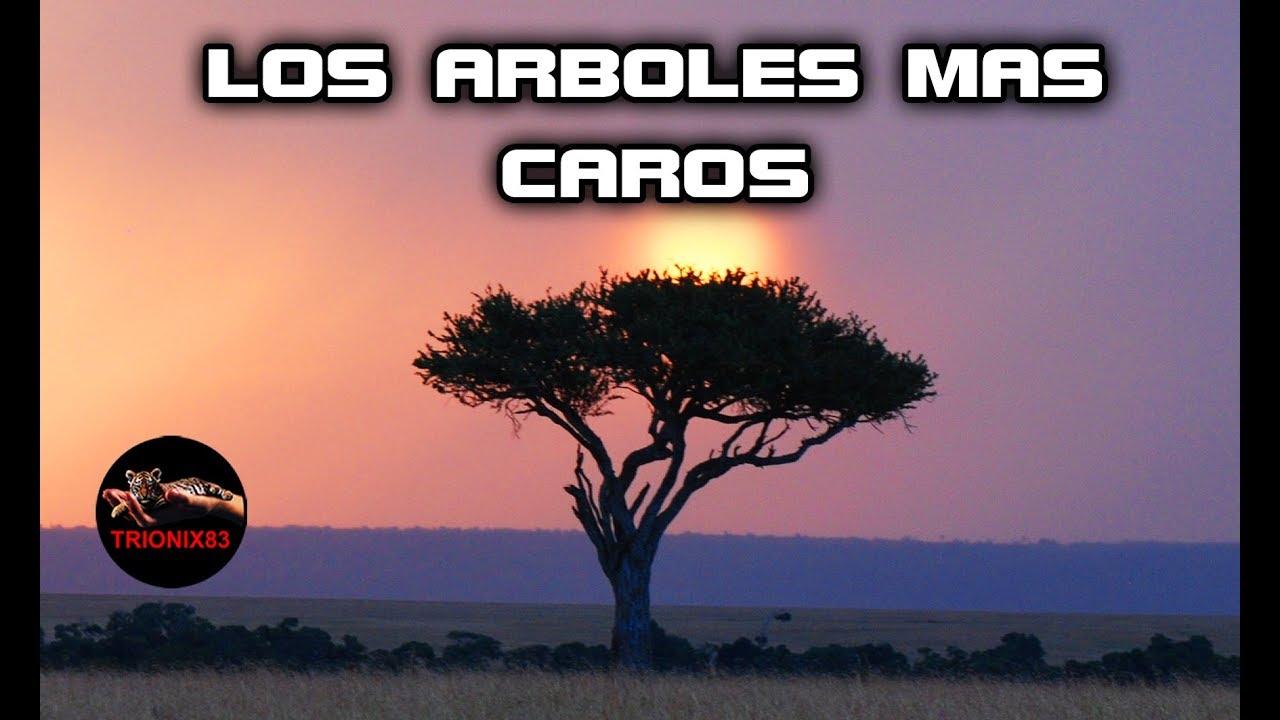 Las Maderas Mas Caras Del Mundo Los Arboles Mas Caros Del Mundo El Arbol Mas Caro Youtube