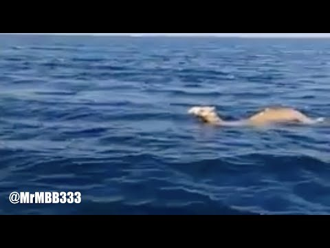 No one seems to know HOW they got out there? - Camels AND Elephants swimming in ocean