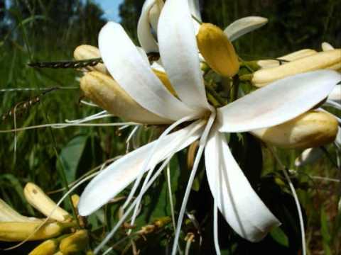 Flor do Cerrado. Waldir Azevedo