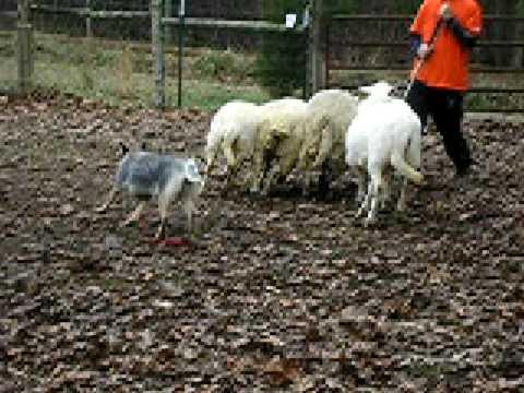 ACD Blue Heeler Chloe Sheep Herding