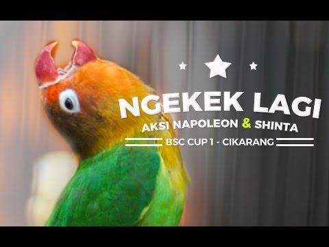 BRANDY WATCH : Lovebird NAPOLEON & SHINTA Ngekek Panjang di BSC CUP Cikarang