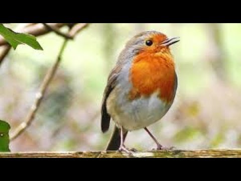 Forest Birds - Ringtone [With Free Download Link]