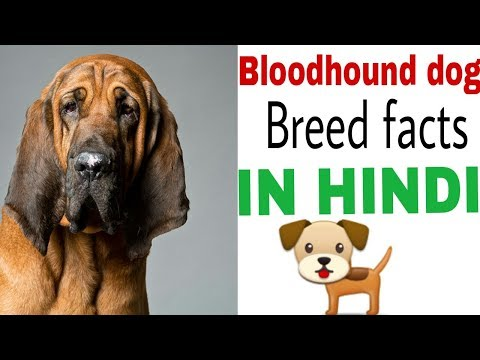 Bloodhound dog facts in hindi