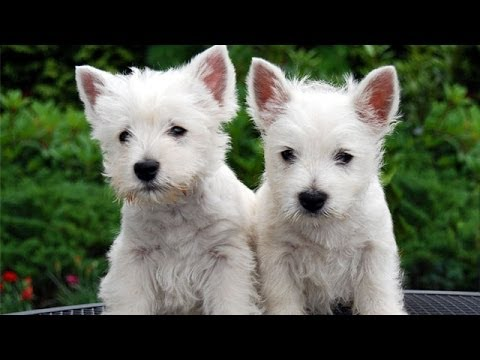 60 Seconds Of Cute West Highland White Terrier Puppies!