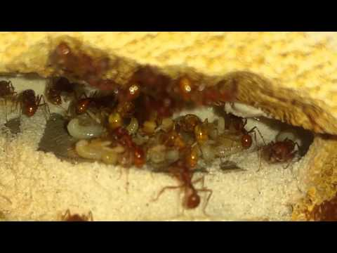 Caring for Pogonomyrmex occidentalis