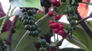 How to Grow Black Pepper (Piper nigrum)