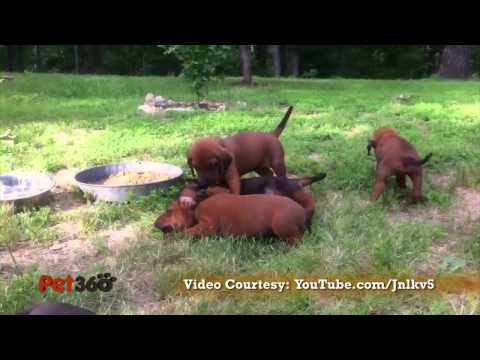 Redbone Coonhound Dog Breed Info