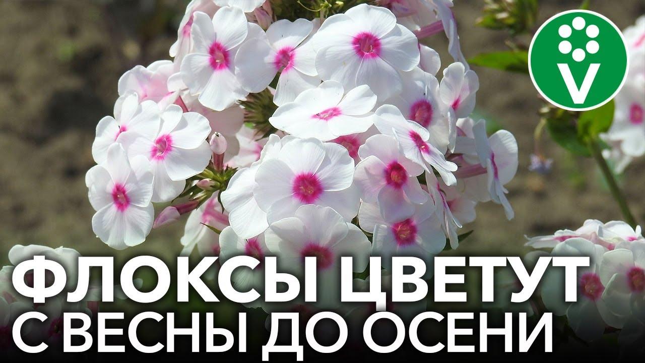 ВСЕ, ЧТО НУЖНО ЗНАТЬ О ФЛОКСАХ. Советы биолога для шикарного цветения