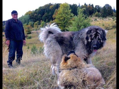 Jozo Dogs- Bizon & Sibirija. The play on the mountain Rance.
