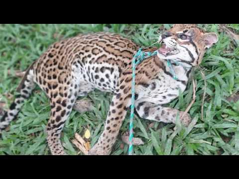 Tigrillo con indicios  de maltrato fue auxiliado por el ejército en Chaparral