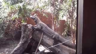 Komodo Dragon Training - London Zoo ZSL