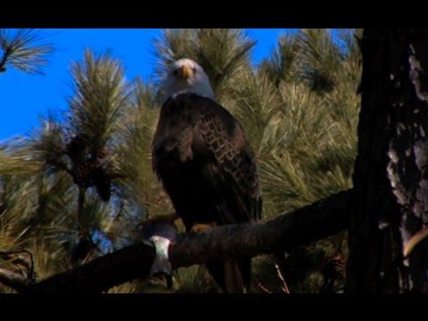 Download Guntersville Alabama Eagle Awareness Video Documentary (High Definition / Local Birds of Prey)