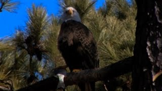 Guntersville Alabama Eagle Awareness Video Documentary (High Definition / Local Birds of Prey)