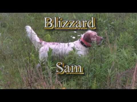 Blizzard Sam - Llewellin Setter