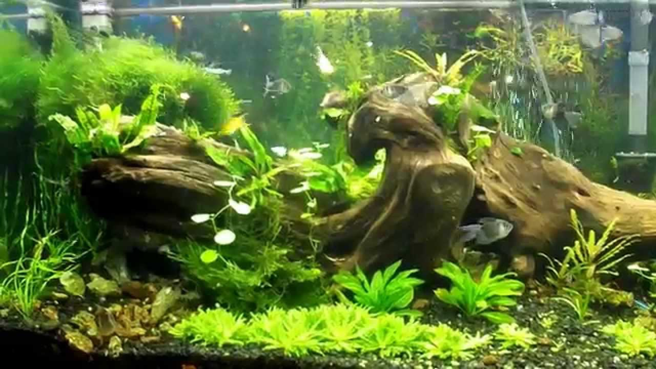 My 75 gallon freshwater community aquarium youtube for Good community fish