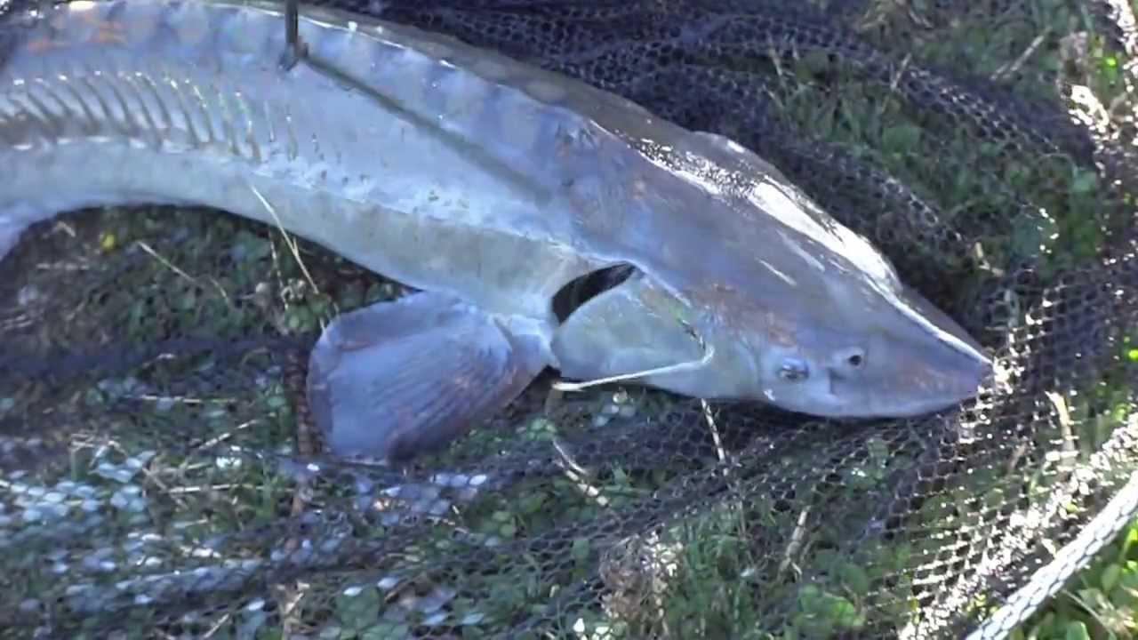 смотреть видео ловля толстолобика на планктон летом
