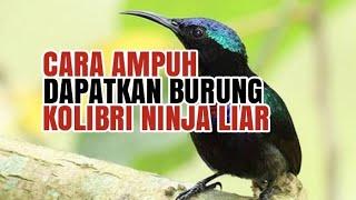 SUARA KHUSUS PIKAT BURUNG KOLIBRI NINJA (KONIN) - TERBARU part.1