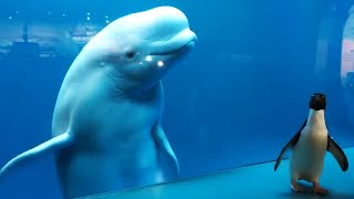 video: Watch: Coronavirus lockdown sees penguin and beluga whale become unlikely friends