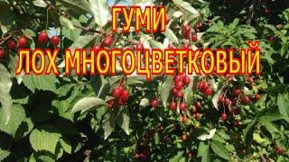 видео Йошта: описание растения, выращивание из семян, посадка, полив, подкормка, уход, применение