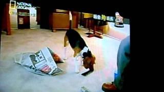 米格魯狗狗的訓練方法