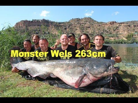 Monster Wels 263cm - 120 Kilo, Monster Catfish 8,63 Feet - 264.55 Pounds, Welsangeln, Wallerangeln