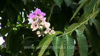Lagerstroemia speciosa tree growing in Dehradun