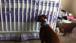 Boxer Responds To Newborns First Cries
