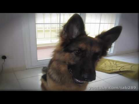 German Shepherd Does Math (Amazing Dog Trick!)
