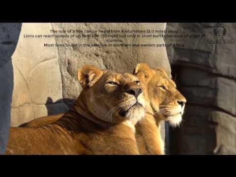 Lion Facts for Kids  African Animals  Big Cats   Animal Fact Guide