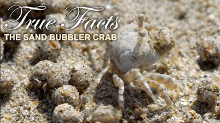 Download True Facts : The Sand Bubbler Crab Mp3 and Videos