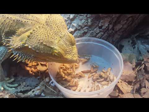 Trev The Bearded Dragon Eats His Calci Worms Plus A Peek At His Current Set Up!