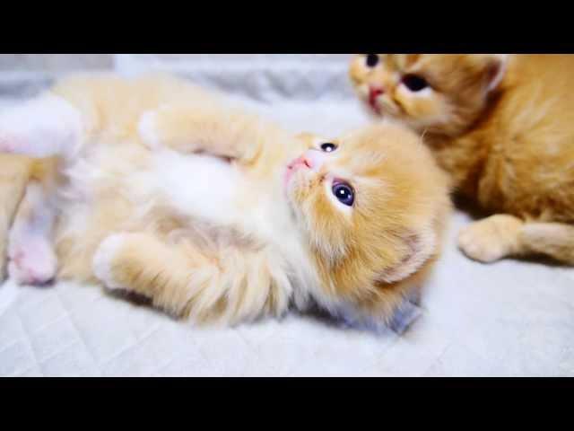 【マンチカン4兄妹】白タイツの子猫と遊んでいたら ~pretty kittens and elder sisters~