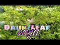 Mengganti Ember Cat Pohon Daun Saga Changing The Paint Bucket For The Saga Leaf Tree  Mp3 - Mp4 Download