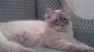 Невские маскарадные кошки.