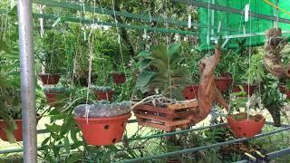 Quế lan hương thơm ngát cuối mùa