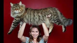 Самые крупные породы домашних кошек. Топ-11 (с фотографиями)