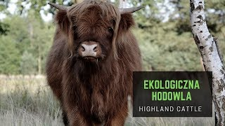 Ekologiczna hodowla Highland Cattle - jesień 2018