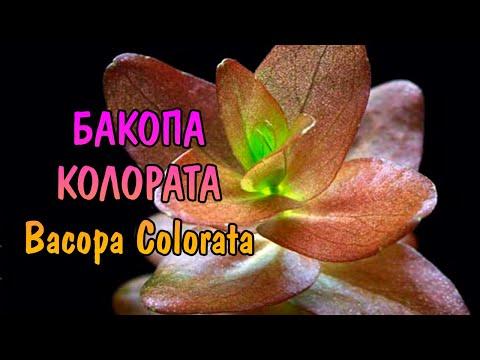 БАКОПА КОЛОРАТА ( Bacopa Colorata )