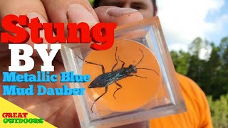 Stung by metallic blue mud dauber