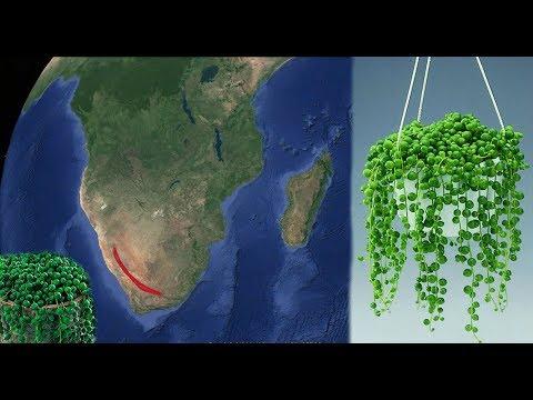 Знакомьтесь! Крестовник Роули (зеленый жемчуг) - ядовитый гость из Намибии. Шива должен отравиться.