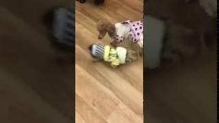 保護犬保護猫カフェ川西店、保護犬メンバーのカナンとキンちゃんです(o^...