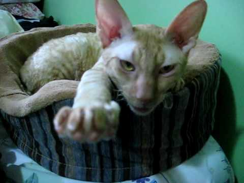 Cornish Rex cat answers to his name